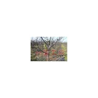 嫁接苹果苗 挂果苹果树 3--6公分苹果树