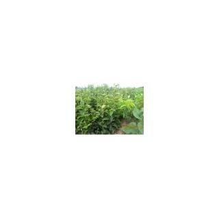 优质柿子苗3--4--5公分柿子树价格