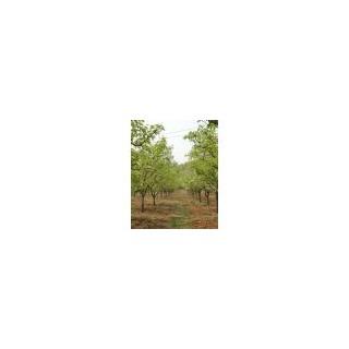 山西果树7--8--9公分梨树出售