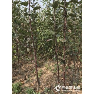 苹果苗苹果树1-3公分苹果树 品种苹果树