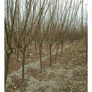 李子树1-5公分西梅李子树 樱桃树 桃树 杏树