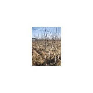 占地核桃树2-6公分核桃树 苹果树 柿子树 山楂树