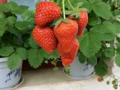 法兰地草莓苗多少钱一棵?